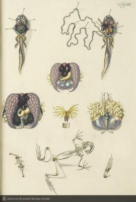 http://lbry-web-002.amnh.org/san/naturalhistories/b11371523_7.jpg