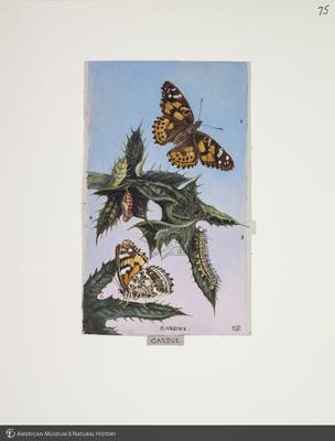 http://lbry-web-002.amnh.org/san/to_upload/titianbutterflies/b1083009_79.jpg