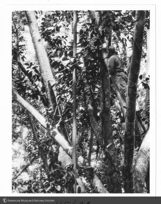 http://lbry-web-002.amnh.org/san/to_upload/Beck-PapuaNewGuinea/NG-5x7-prints/115673.jpg