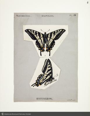 http://lbry-web-002.amnh.org/san/to_upload/titianbutterflies/b1083009_3.jpg