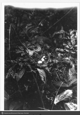 http://lbry-web-002.amnh.org/san/to_upload/Beck-PapuaNewGuinea/NG-5x7-prints/115602.jpg