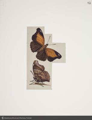 http://lbry-web-002.amnh.org/san/to_upload/titianbutterflies/b1083009_104.jpg