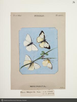 http://lbry-web-002.amnh.org/san/to_upload/titianbutterflies/b1083009_39.jpg