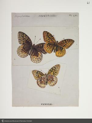 http://lbry-web-002.amnh.org/san/to_upload/titianbutterflies/b1083009_70.jpg