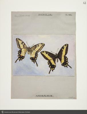 http://lbry-web-002.amnh.org/san/to_upload/titianbutterflies/b1083009_11.jpg