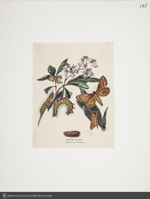 http://lbry-web-002.amnh.org/san/to_upload/titianbutterflies/b1083009_149.jpg