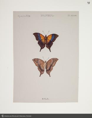 http://lbry-web-002.amnh.org/san/to_upload/titianbutterflies/b1083009_109.jpg