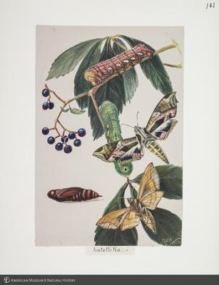 http://lbry-web-002.amnh.org/san/to_upload/titianbutterflies/b1083009_145.jpg