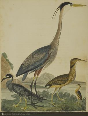 http://lbry-web-002.amnh.org/san/naturalhistories/b10203680_5.jpg