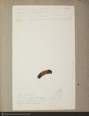 http://lbry-web-002.amnh.org/san/to_upload/titianbutterflies/b1179161_64.jpg