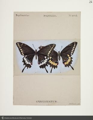 http://lbry-web-002.amnh.org/san/to_upload/titianbutterflies/b1083009_26.jpg