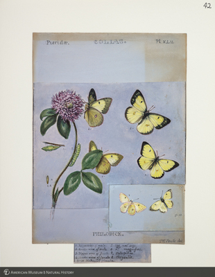 http://lbry-web-002.amnh.org/san/to_upload/titianbutterflies/b1083009_45.jpg