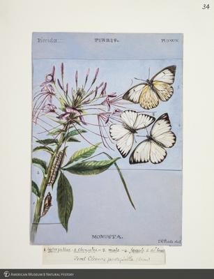 http://lbry-web-002.amnh.org/san/to_upload/titianbutterflies/b1083009_37.jpg