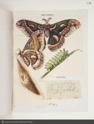 http://lbry-web-002.amnh.org/san/to_upload/titianbutterflies/b1083009_136.jpg