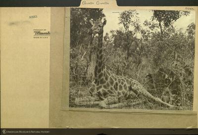 http://lbry-web-002.amnh.org/san/mo_exhibition/ppc_532_b11_f124_028.jpg