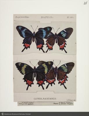http://lbry-web-002.amnh.org/san/to_upload/titianbutterflies/b1083009_25.jpg