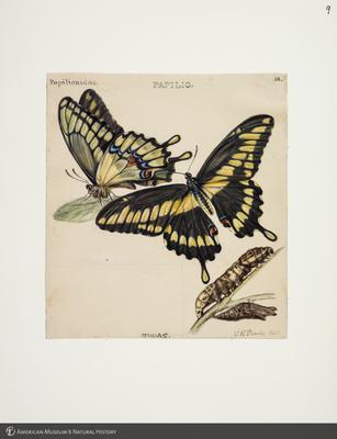 http://lbry-web-002.amnh.org/san/to_upload/titianbutterflies/b1083009_8.jpg