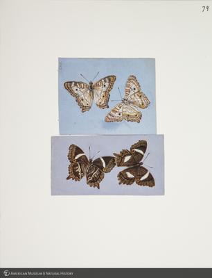 http://lbry-web-002.amnh.org/san/to_upload/titianbutterflies/b1083009_85.jpg