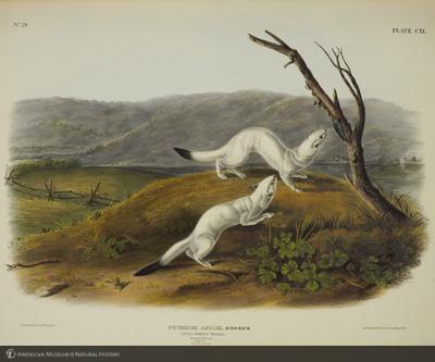 http://lbry-web-002.amnh.org/san/naturalhistories/b10621283_1.jpg