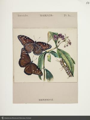 http://lbry-web-002.amnh.org/san/to_upload/titianbutterflies/b1083009_52.jpg
