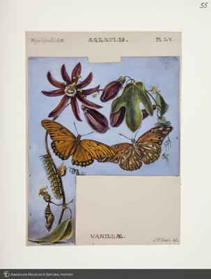 http://lbry-web-002.amnh.org/san/to_upload/titianbutterflies/b1083009_57.jpg