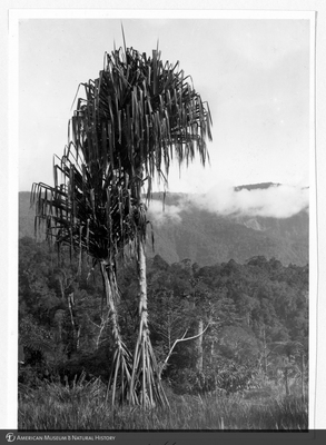 http://lbry-web-002.amnh.org/san/to_upload/Beck-PapuaNewGuinea/NG-5x7-prints/117440.jpg