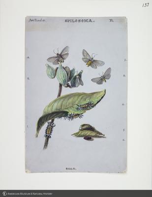 http://lbry-web-002.amnh.org/san/to_upload/titianbutterflies/b1083009_140.jpg