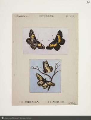 http://lbry-web-002.amnh.org/san/to_upload/titianbutterflies/b1083009_32.jpg