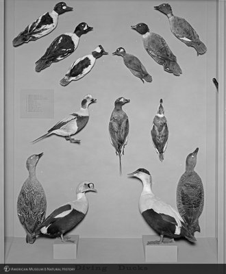 http://images.library.amnh.org/d/t/8x10/0002/00325670_l.jpg