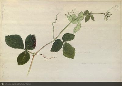 http://lbry-web-002.amnh.org/san/mo_exhibition/art002_b2_07b.jpg