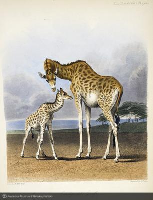http://lbry-web-002.amnh.org/san/naturalhistories/b11266818.jpg