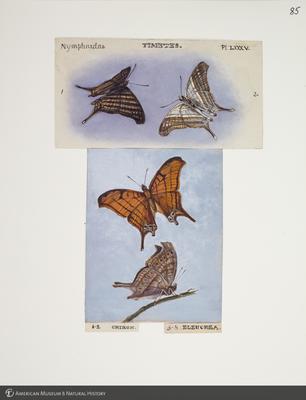 http://lbry-web-002.amnh.org/san/to_upload/titianbutterflies/b1083009_94.jpg