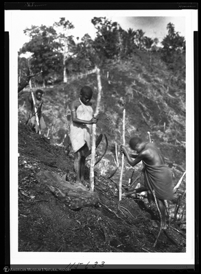 http://lbry-web-002.amnh.org/san/to_upload/Beck-PapuaNewGuinea/NG-5x7-negs/115633.jpg