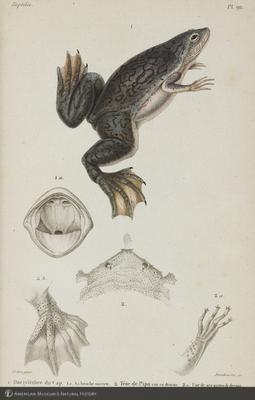 http://lbry-web-002.amnh.org/san/naturalhistories/b10464177_2.jpg