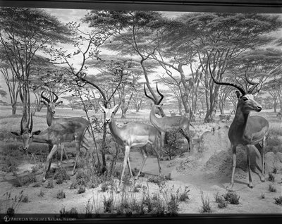http://images.library.amnh.org/d/t/8x10/0001/00315113_l.jpg