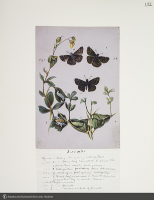 http://lbry-web-002.amnh.org/san/to_upload/titianbutterflies/b1083009_132.jpg
