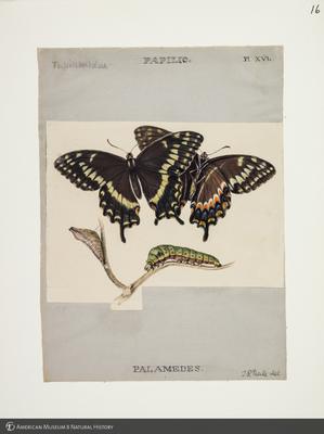 http://lbry-web-002.amnh.org/san/to_upload/titianbutterflies/b1083009_16.jpg