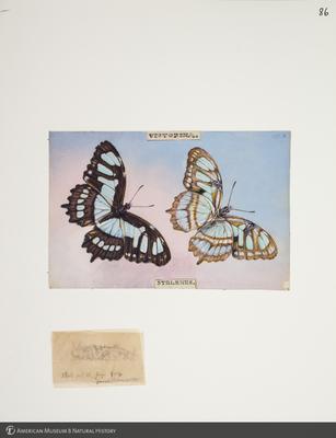 http://lbry-web-002.amnh.org/san/to_upload/titianbutterflies/b1083009_95.jpg