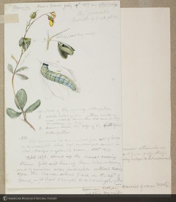 http://lbry-web-002.amnh.org/san/to_upload/titianbutterflies/b1179161_154.jpg