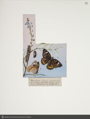 http://lbry-web-002.amnh.org/san/to_upload/titianbutterflies/b1083009_83.jpg