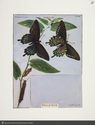 http://lbry-web-002.amnh.org/san/to_upload/titianbutterflies/b1083009_18.jpg