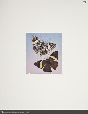 http://lbry-web-002.amnh.org/san/to_upload/titianbutterflies/b1083009_91.jpg