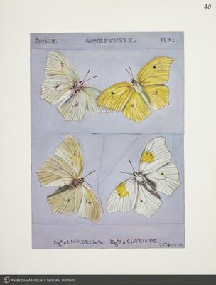 http://lbry-web-002.amnh.org/san/to_upload/titianbutterflies/b1083009_43.jpg
