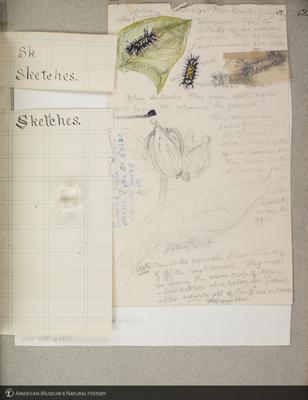 http://lbry-web-002.amnh.org/san/to_upload/titianbutterflies/b1179161_83.jpg