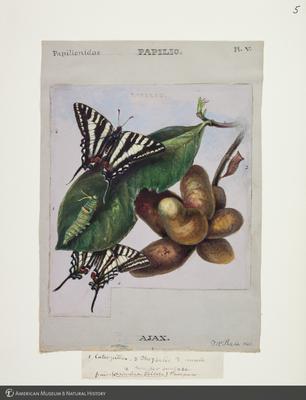 http://lbry-web-002.amnh.org/san/to_upload/titianbutterflies/b1083009_4.jpg