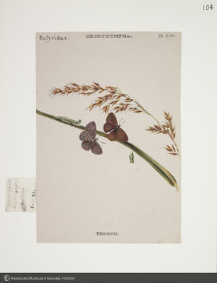 http://lbry-web-002.amnh.org/san/to_upload/titianbutterflies/b1083009_115.jpg
