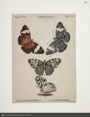 http://lbry-web-002.amnh.org/san/to_upload/titianbutterflies/b1083009_49.jpg
