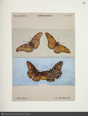 http://lbry-web-002.amnh.org/san/to_upload/titianbutterflies/b1083009_58.jpg