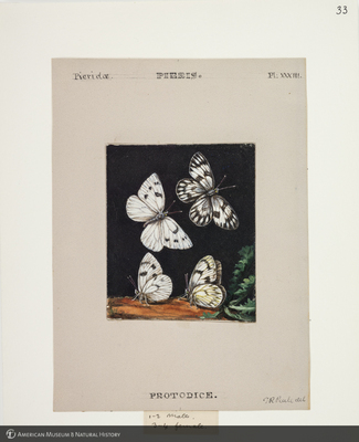 http://lbry-web-002.amnh.org/san/to_upload/titianbutterflies/b1083009_36.jpg